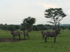 Zebras at Lake Mburo National Park